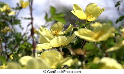 Flowering Shrub Rose Hips - Large yellow flowers of a wild...