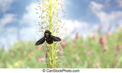 Harmony of Nature - Black carpenter bee flies from flower on...