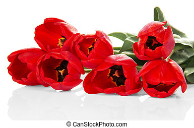 Bouquet of red tulips closeup, isolated on white