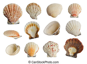 Sea shells set - Collection Sea shells isolated on white...