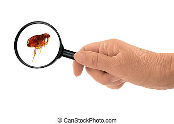 Flea under the magnifying glass - Siphonaptera - As brought...
