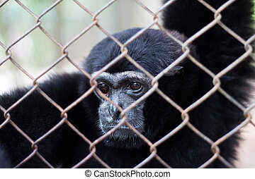cage Gibbons