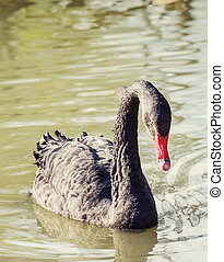 Black swan (Cygnus atratus) in the park.