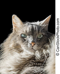 Angora Siberian male cat, odd eyes - Angora Siberian male...