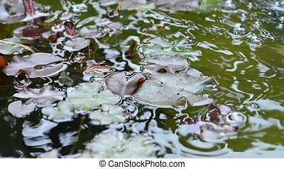 Water Lilies - Leaves of the water Lilies swinging on the...