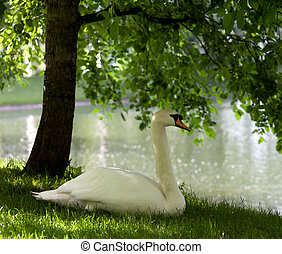 Mute swan on grass under tree