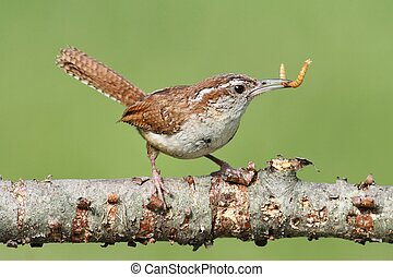 Carolina Wren On A Branch - Carolina Wren (Thryothorus...