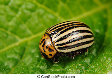 Colorado Potato Beetle on Potato Leaf - A close-up of a...