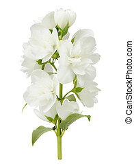Branch of Jasmine Flowers on White Background - A branch of...