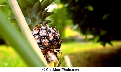 Close up of pineapple, tropical fruit Thailand. Macro video...