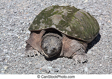 Snapping Turtle TU-047 - Snapping Turtle Chelydra...