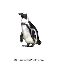 Humboldt, Magellanic species of penguin. isolated on white...