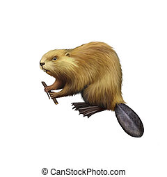 North American Beaver holding tree branch. - Beaver holding...