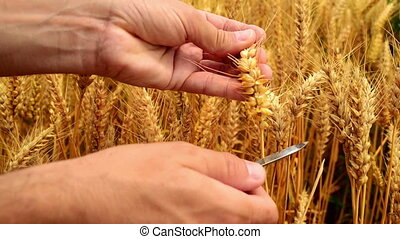 Male farmer hands in wheat field