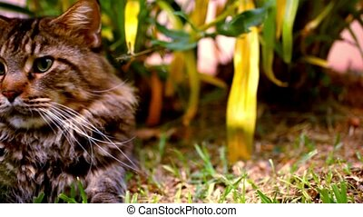 Maine Coon black tabby cat with green eye on grass. Macro...