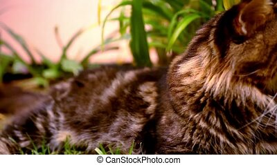 Maine Coon black tabby cat with green eye on grass Macro...