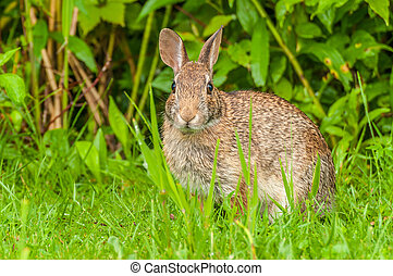 Cottontail Rabbit - Cottontail rabbit sitting in the grass...