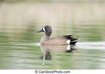 Blue-winged Teal - Blue-winged teal swimming in a lake...