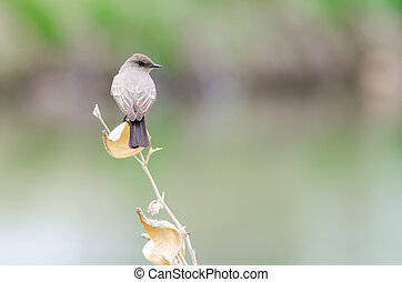 Say's Phoebe - Back view of a Say's Phoebe, Lakewood,...