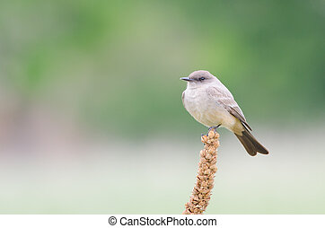 Say's Phoebe - Say's phoebe on green background, Lakewood,...