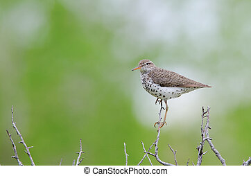 Spotted sandpiper - A spotted sandpiper standing on tree...