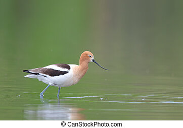 American avocet at Belmar park, Lakewood, Colorado during...