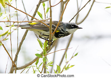 Yellow-rumped Warbler Myrtle - A male yellow-rumped warbler...
