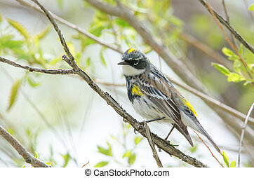 Yellow-rumped Warbler (Myrtle) - A male yellow-rumped...