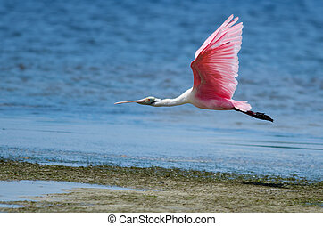 Roseate Spoonbill in Flight - Roseate spoonbill flying low...