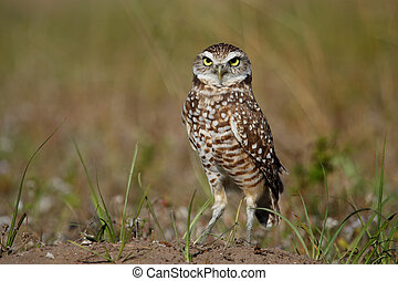 Burrowing Owl standing on the ground - Burrowing Owl (Athene...