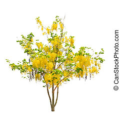 Golden shower tree (Cassia fistula), tropical tree in the...