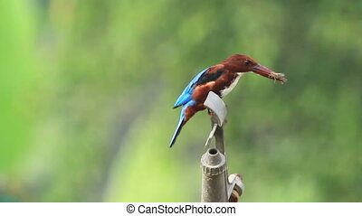 white throated kingfisher feeding on water sprinkler