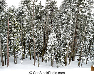 Snowy Forest 2 - An evergreen forest under a fresh blanket...
