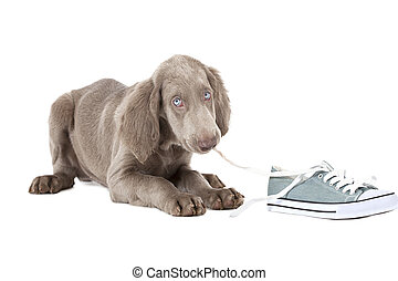 Weimaraner puppy chewing the lace of a shoe - Three months...