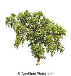 Acacia auriculiformis, commonly known as Auri, Earleaf acacia, E