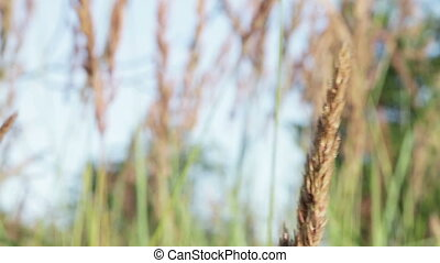 Spikes Field grass. Macro - Macro. Spike grass field with...