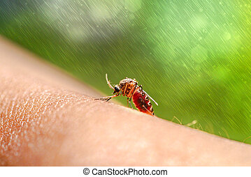primer plano, mosquito, Chupar, sangre