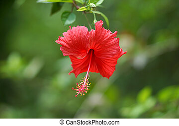 Red hibiscus.  - Red hibiscus.