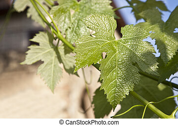 grape leaf in a vineyard on the hills of Tuscany