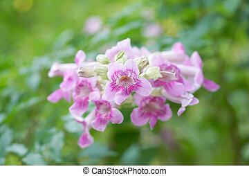 Pink Trumpet Vine flower.
