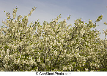Acacia flowers - Acacia treetop with lot of white flowers in...
