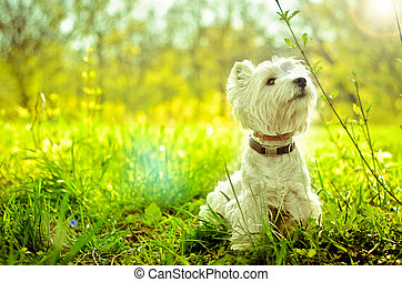 west highland terrier - west highland white terrier on the...