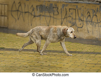 Vagabond on rain - Abandoned wet dog walking down the street...