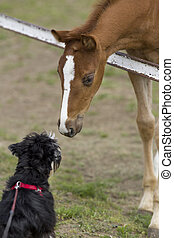 Foal and dog smelling each other on ranch