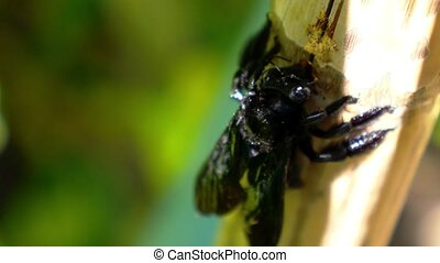 Black Carpenter Bee Eating Bamboo Exotic Thailand Sunny Koh...