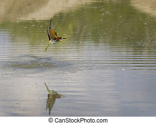 Bee-eater flying - European bee-eater flying above water...