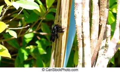Black Bee Crunching Bamboo. Flora and Fauna of Exotic...