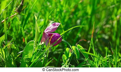 Wildflower - Lone pink wildflower in the grass