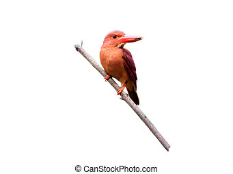 Ruddy Kingfisher (Halcyon coromanda major) in Japan
