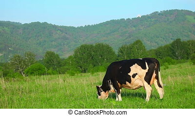 Grazing cow - Cow grazing on the meadow